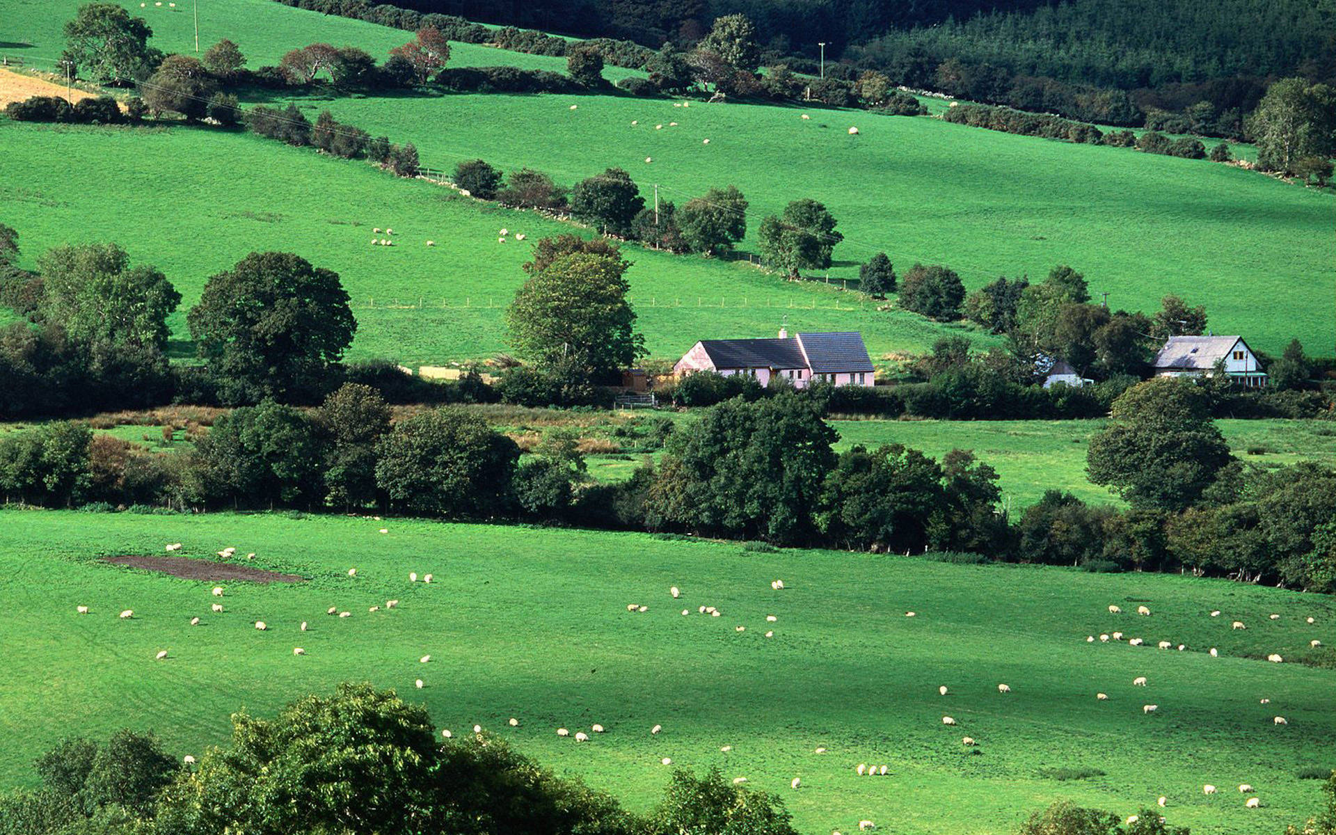 fields of sheep with small houses in background