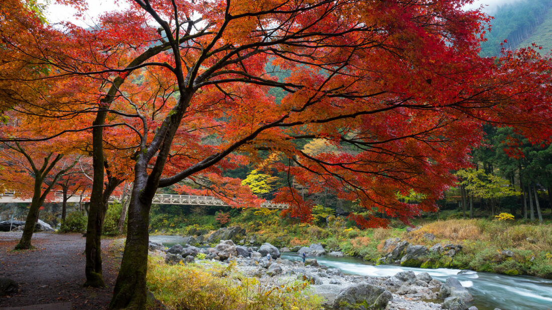 Red leaved trees hanging over a river