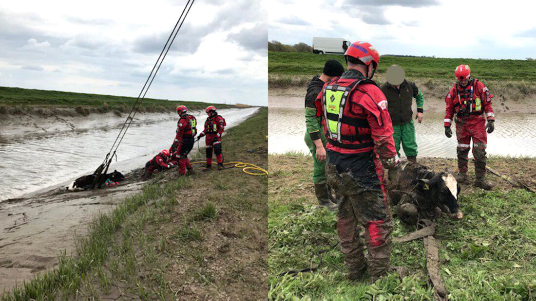 calf rescued by animal rescue team using what3words location